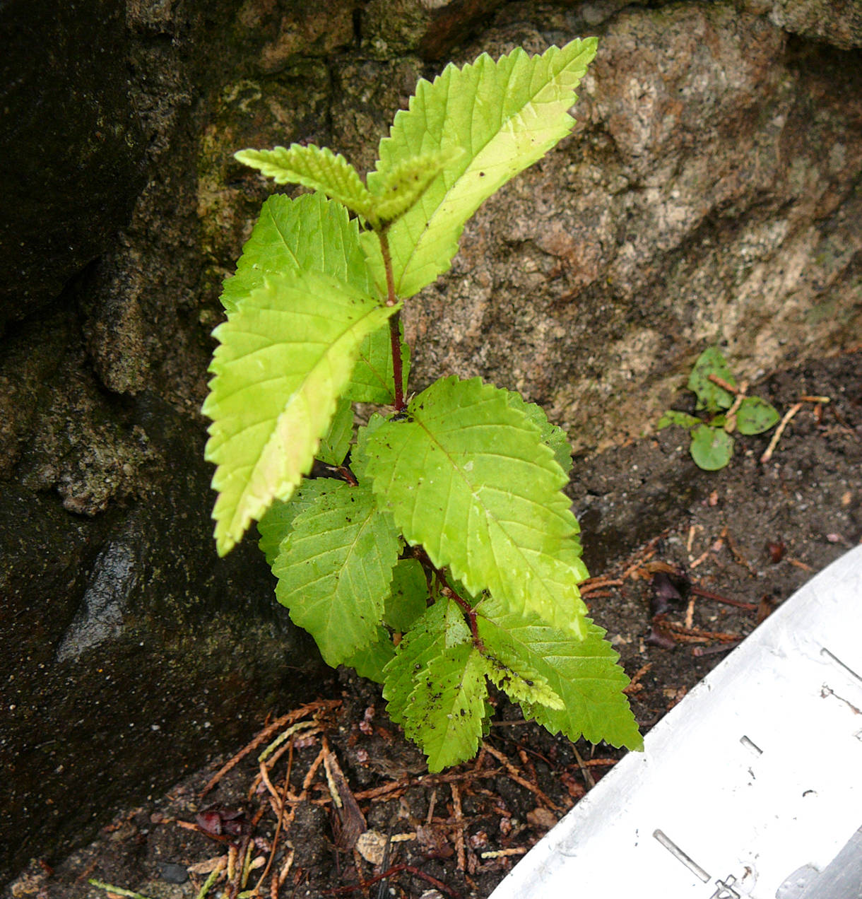 This Siberian elm seedling, growing between sidewalk and a rock wall, already had a taproot longer than the four inches of top growth. It is essential to recognize the seedlings and remove them immediately.                                -Image: Gwen Steele
