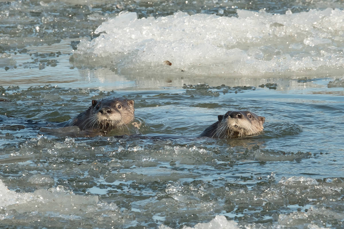 Michele Broadfoot shared her photos of otters in the Fraser River in the Derby Reach area.